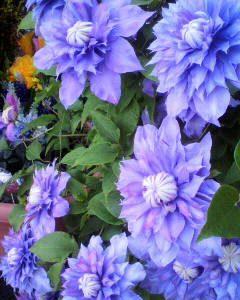 クレマチスの花が満開です。