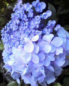 ハーフの紫陽花