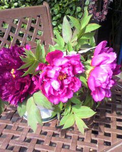牡丹の花?が、満開?