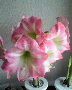 アマリリスの花も満開です。