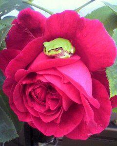 薔薇の花が、大好き?