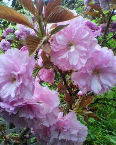 我が家の桜が、咲きました。