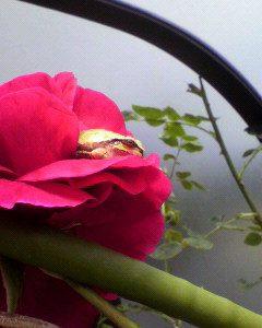 今年も、薔薇の花の中!