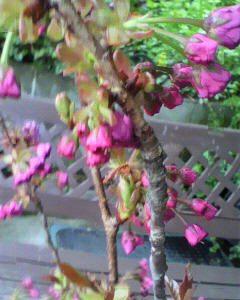 桜も、まだこれからです(^o^)/