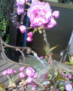 咲きましたよ(^o^)/