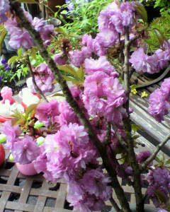 桜と、ジャスミンの花が満開です(^o^)v