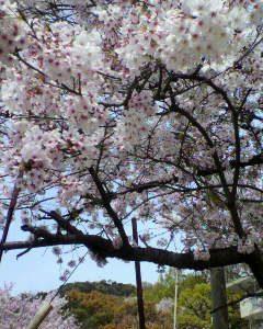 桜が満開です(^o^)/
